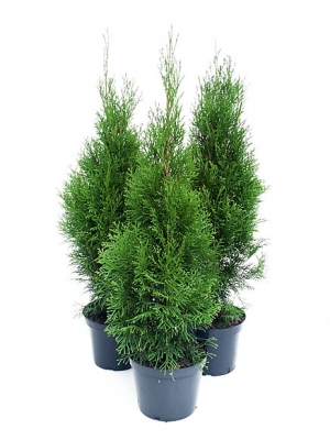 Thuja Yellow Ribbon 50-60cm C3